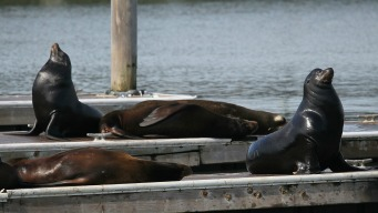 Rising Number of Sea Lions Treated for Poisoning