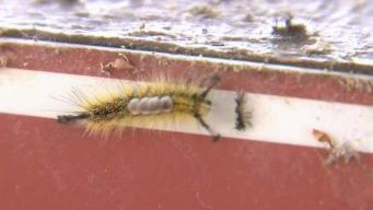 Caterpillars in the South Bay May Cause Rashes