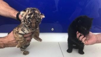 Tiger and Jaguar Cubs Found in Boxes at Tijuana Airport