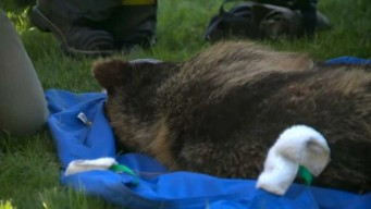 Officials Capture Bear That Climbed Tree at UC Davis Campus