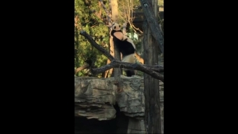 Bei Bei Learns to Climb While Mom Helps