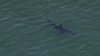 Local Experts Explain Recent Uptick in Shark Sightings