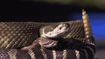 Warm Weather Brings Increased East Bay Rattlesnake Activity