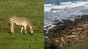 Dead Zebra Washes into Ocean, Spotted near Hearst Castle