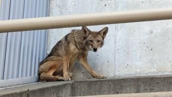 Coyote Spotted Roaming in SOMA in San Francisco