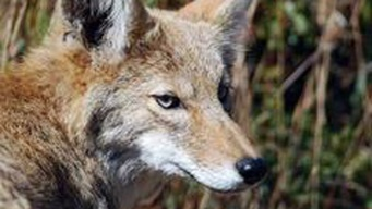 Intoxicated Coyotes Aren't on 'Magic Mushrooms'
