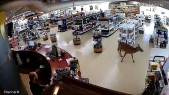 Deer Crashes Into Paint Store