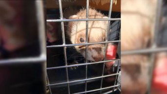 French Fry-Munching Ferret Found at California City Hall