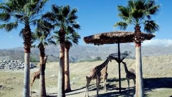 Living Desert: Feed the Giraffes