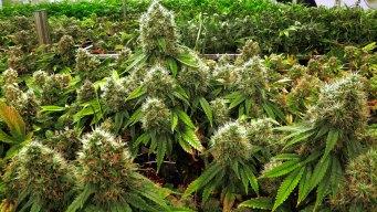 Bay Area Revelations: Cannabis Rush