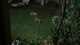 Bobcats Seen Playing in Carmel Valley Home's Backyard