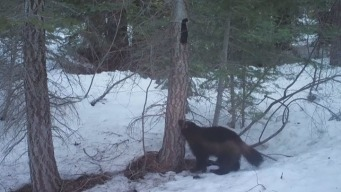 Rare Wolverine Sighting in Sierra Nevada
