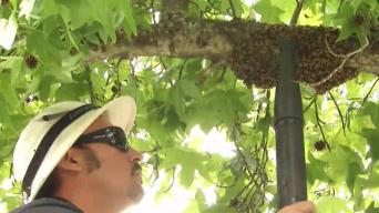 Bay Area Bee Keepers in High Demand Following Winter Rains