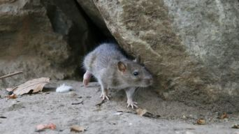 Rat Infestation in SF, Oakland Among Worst in US: Report