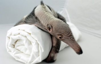 Rare Giant Anteater Twin Born in Santa Barbara