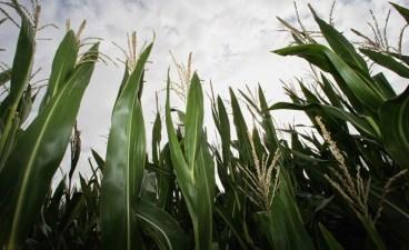 Corn Maze Days: Dixon's Mondo Labyrinth Opens