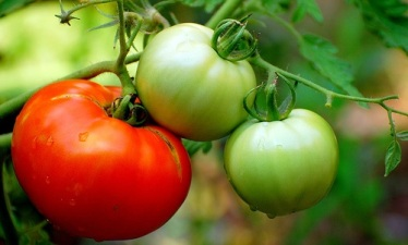 Juicy Gathering: Fancy Tomato Time