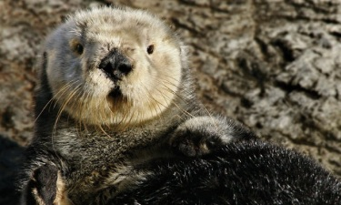 Whiskery, Playful, Iconic: Where to See Sea Otters