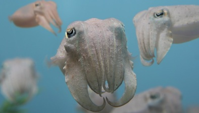 Monterey Cool: Behind-the-Scenes Octopuses