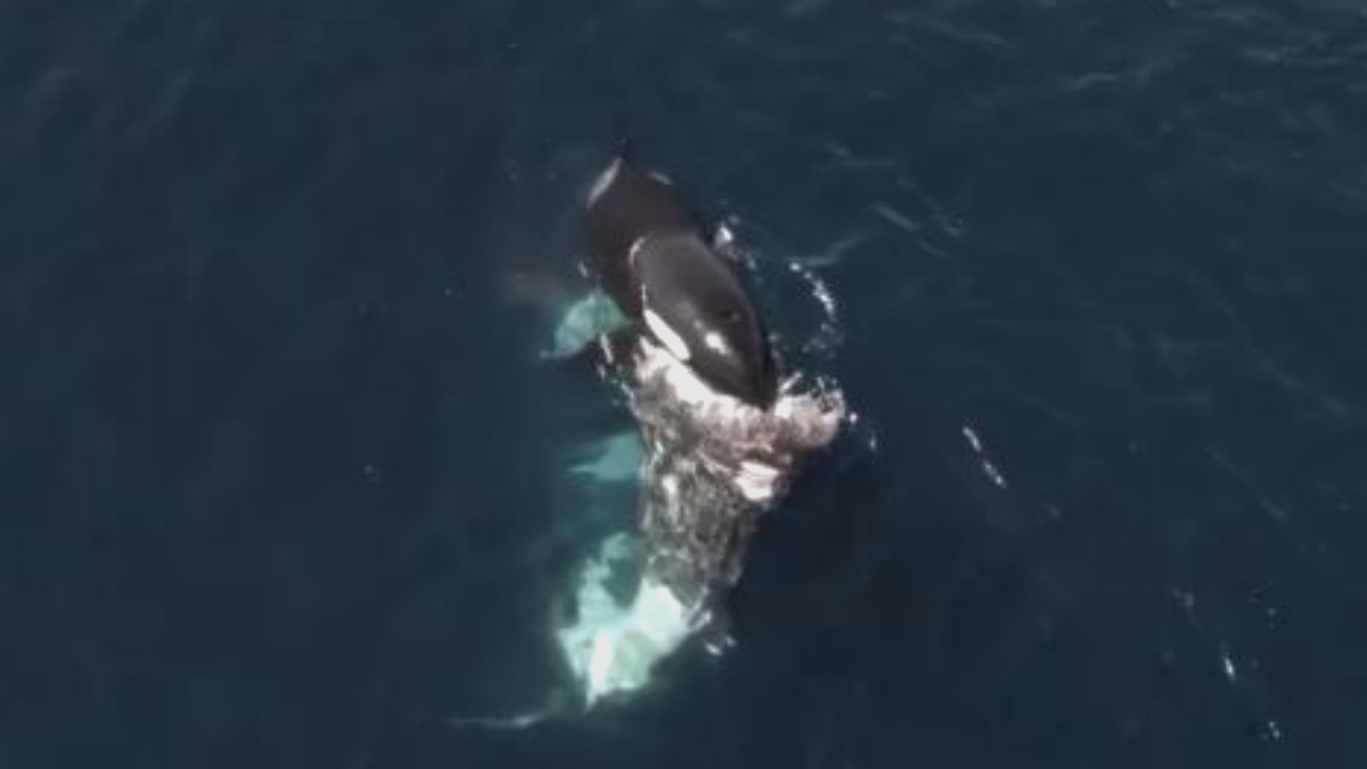 Drone Footage Captures Killer Whales Feasting in Monterey