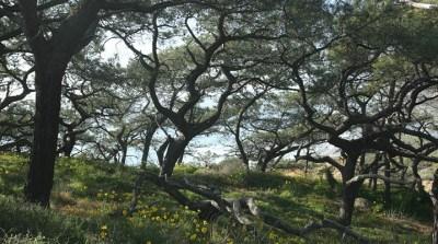 California Treasure: The Torrey Pine