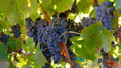 Livermore's Labor Day Weekend: All Kinds of Wine