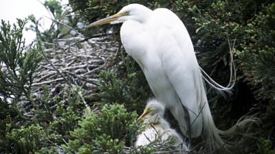 Baby Egret Season Wraps Up