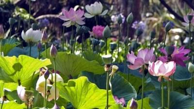 Flower Fantasy: LotusFest! 2016