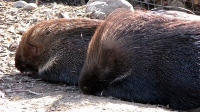 Porcupines in Love
