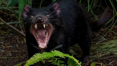 Only U.S. Zoo to See Tasmanian Devils: San Diego