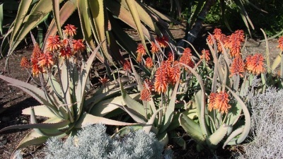 Aloe've You: Valentine's in Nature