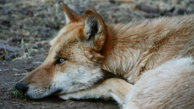 Wolf Awareness Week at the California Wolf Center