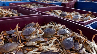 An Autumn Crab Catch on Tomales Bay