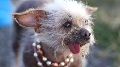 Sonoma-Marin Fair World's Ugliest Dog Contest