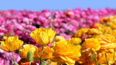 Eye-Popping: Flower Fields to Open