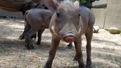 Safari West: A Quartet of Hoglets