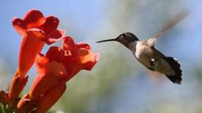 Wee, Flitty, Fast: Hummingbird Days in Santa Cruz
