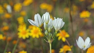 The Wildflowers of Jepson Prairie