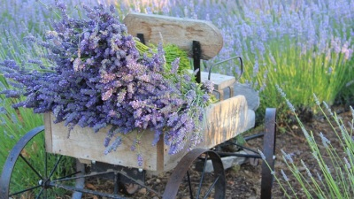 Purple Pretty: Sonoma Lavender Festival