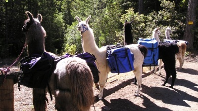 Llama Treks on the Mendocino Coast
