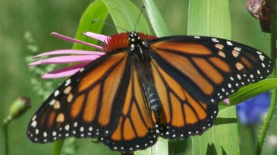 Pismo State Beach Butterfly Grove: 2017 Opening
