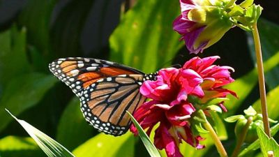 Pacific Grove Icons: Monarchs on the Way