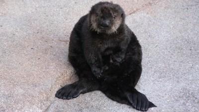 Monterey Celeb: Meet Otter #649
