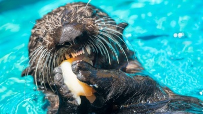 Furry Learning: Otter Days in Monterey
