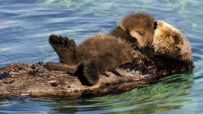 Cute Cameo: Otter Mom and Pup Visit Tide Pool