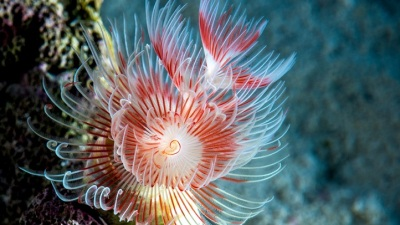 Ocean Ornamental: Red Coco Worm Wallpaper
