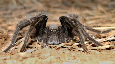 Scary and Hairy: Mount Diablo Tarantula Trek