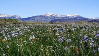 Abloom: The Wild Irises of Mono County
