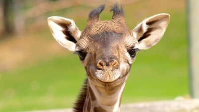 World Giraffe Day at Safari West