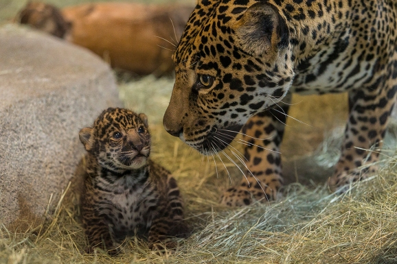 Jaguar Baby At San Diego Zoo